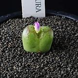 4081-Conophytum 희앵'姫桜 (Himezakura' )|