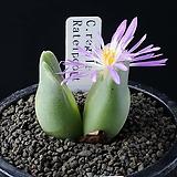 4082-Conophytum regale Ratelpoort    리갈2두|