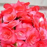 베고니아7-국내최대크기-년중꽃피고지고-아름다움
