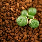 라43_ conophytum ectypum subsp. brownii SH 436/87-Ratelpoort 