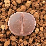 라49_ aucampiae chocolate puddles 
