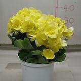 베고니아2-국내최대크기-년중꽃피고지고-아름다움