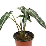 알록카시아(좁은잎)|