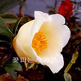 초황동백(꽃대수형/A)-동일품배송|