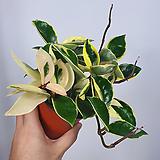 호야 공기정화식물|