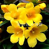 개나리자스민(묵은주 외목/21)-동일상품배송|