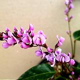 분홍싸리(꽃대소품)|