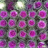 노지월동가능~꽃배추(5개 한묶음) 