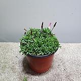 옥살리스 도하사랑초 야생화 29|
