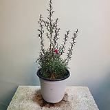 호주매화 야생화 겨울꽃 75|