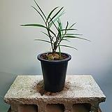 그린스톤 구근식물 독구리난과 비슷한 식물 119|