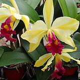 카틀레야.골든벨.노랑색그라데이션에붉은립프.꽃중대형종.향기좋은향.고급종.잘않나오는 품종.인기상품.꽃대.~|