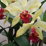 카틀레야.골든벨.노랑색그라데이션에붉은립프.꽃중대형종.향기좋은향.고급종.잘않나오는 품종.인기상품.꽃대.|