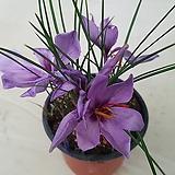 보라샤프란(식용꽃)|