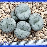Conophytum minimum tilney form ex SH|