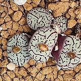 C. wittbergense ssp위트버젠스 4두|Conophytum Wittebergense
