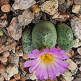 C. tantillum( 탄틸룸)|