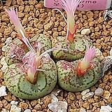 Conophytum ficiforme ssp (피시포르미)|