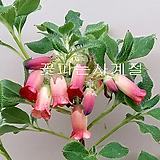 털방울철쭉(털도단/1)-동일품배송|