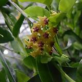 호야.댄싱폴리아(오렌지브라운색).꽃색깔예뻐요.향기좋은향.인테리어효과.공기정화식물.상태굿.|