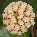호야.아이보리브라운가미된 별사탕모양꽃.꽃색깔예뻐요.잎모양도 예뻐요.향기좋은향.인테리어효과.공기정화식물.~|