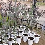 자엽아카시아 외목대 대품 549|