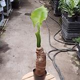 알로카시아 소중품 공기정화식물 95|Alocasia