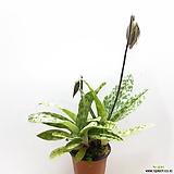 파피오 페딜럼(꽃대 2대) 