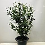 멋진스프링삼나무(묵은목대대품  동일품배송 )|