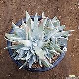 브리트니 군생 약20두 (두들레야) 20 DUDLEYA pulverulenta