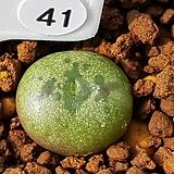 마우가니 var. 피시포메 41 (어린개체 초특가)|Conophytum maughanii