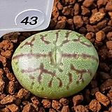 위트버젠스 교배종 43|Conophytum Wittebergense