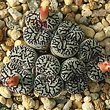 Wittebergense 위트버젠스 12두|Conophytum Wittebergense