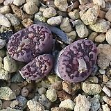 Pellucidum Neohallii Makins Plum 마킨스플럼|