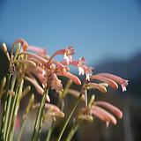 키르탄서스 분홍색 마케니아 1포트(10cm)