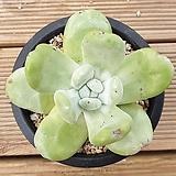 야생파키피덤 Dudleya pachyphytum