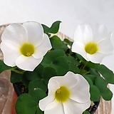 깨끗한 흰색사랑초 옥살리스|