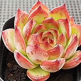파이어필라 5218|Echeveria Fire Pillar
