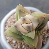 기천금 층수 높아요 잎장 한장 상처|Crassula cv Moonglow