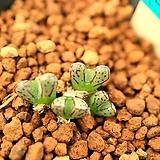 라56_ conophytum heleniae 