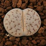 라68_ C264 pseudotruncatella (pale form) 