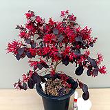 자엽붉은풍년화-(외목수형-A)-동일품배송|