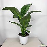 센세이션스파트필름 스파트필름 공기정화식물 중품|