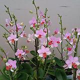 호접란.삼색화.핑크여우.다시입고.기다리고 기달렸던품종.(예쁜핑크색)(꽃형 귀여운형).작은품종.귀한품종.|