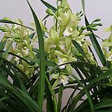 동양란.스프링파우.꽃대1대.동양란,서양란교배종입니다.좋은향.잎풍성.상태굿.~|
