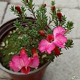 기간초특가-아나벨 핑크 수국