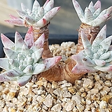 화이트그리니 5두|Dudleya White gnoma(White greenii / White sprite)