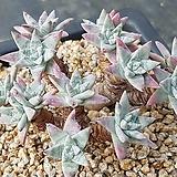 화이트그리니 분지없는 13두 자연군생|Dudleya White gnoma(White greenii / White sprite)
