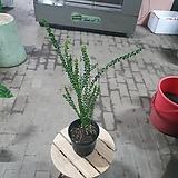 삼각잎아카시아 야생화 중품 인테리어식물 40~60cm