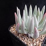 화리노사241|Dudleya farinosa Bluff Lettuce